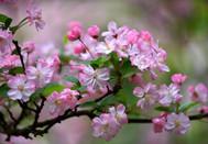 春风十里海棠花,朵朵含苞待放