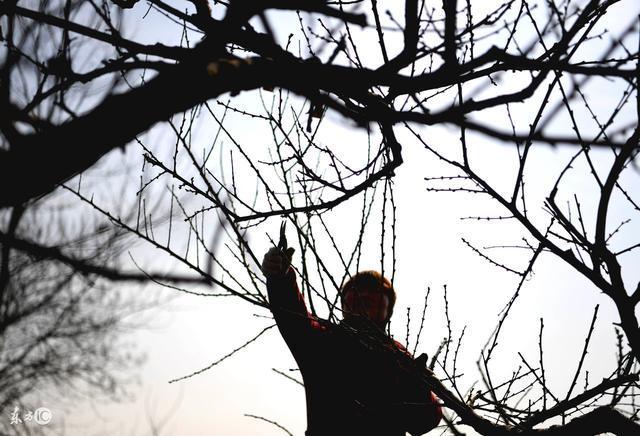 果树太大不挂果怎么办,不妨试试这几种方法?据说效果很好