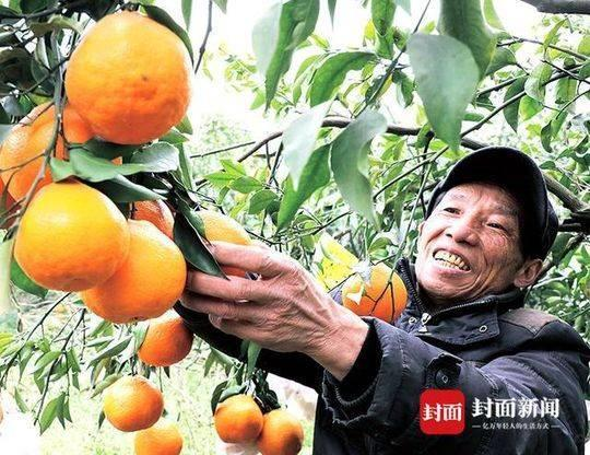 一万斤春见卖了10万元  村民笑嘻了!新津邓双镇乡村振兴战略落地