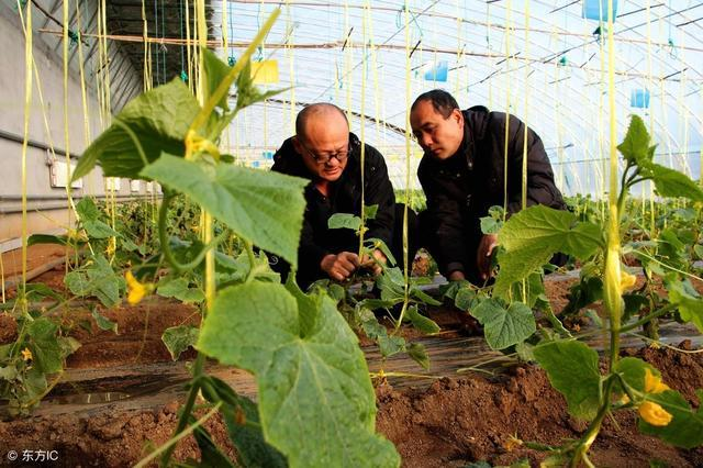 大棚蔬菜整枝打杈有原则,方法有讲究,你做对了吗?