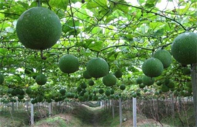 瓜蒌价格多少钱一斤?2019年瓜蒌种植利润及市场前景分析
