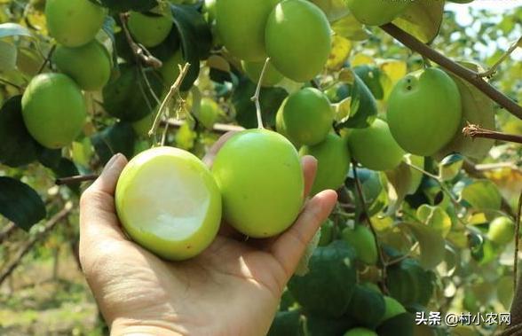 大青枣特别适合老人和小孩子吃,想要种植的可以看看!