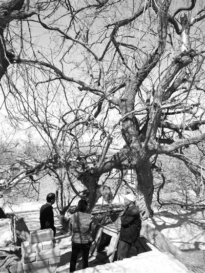在屋内的古树根基和延伸到房顶上的枝杈。