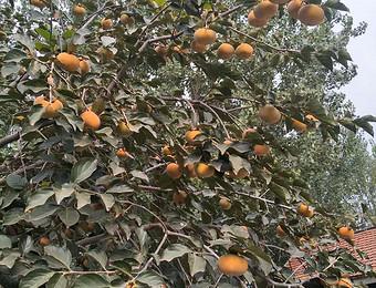 柿子挂满了枝头