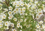 阳春四月之花,赏雄安百亩文冠果