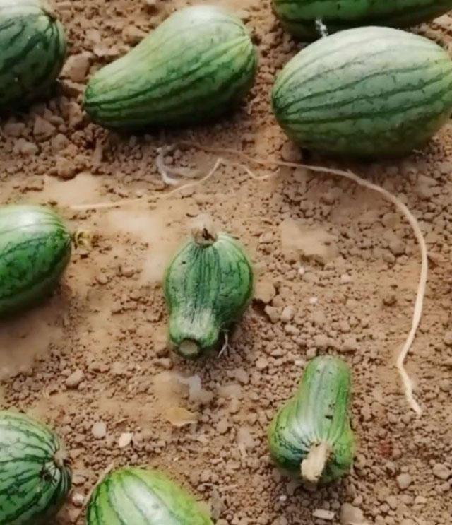 西瓜种植,畸形瓜比较多,商品性降低,该如何进行预防和补救呢?