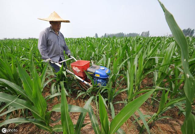 种植玉米,这些事情一定要早知道,后期产量才有保证