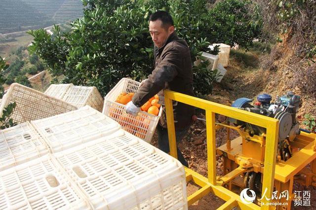 工人搬运脐橙。