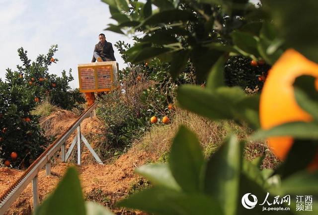 江西赣县王母渡镇下排村春秋果业基地,工人利用山地轨道车将一筐筐脐橙运下山去。
