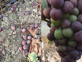 葡萄成熟了如何减少掉粒的发生?