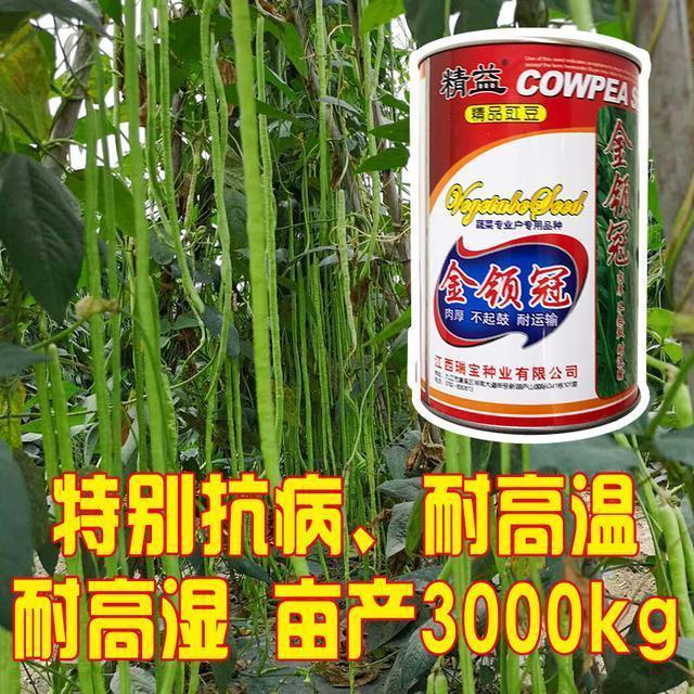 农户种豆角,用上这个品种,长出的豆角又大又长,摘不完