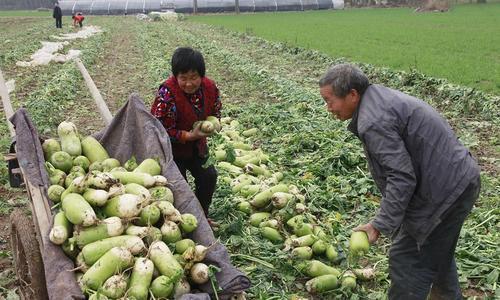 农民种萝卜,想要萝卜优质又高产,建议严把7道关