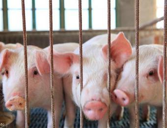 猪肉价格持续上涨难控制,为何西南地区价格却上涨缓慢?不缺猪?