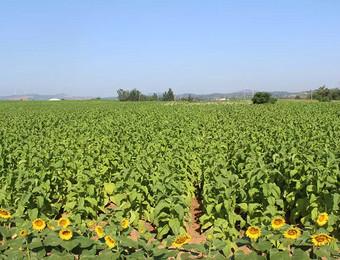 全县烟叶生产观摩会在陈村乡召开