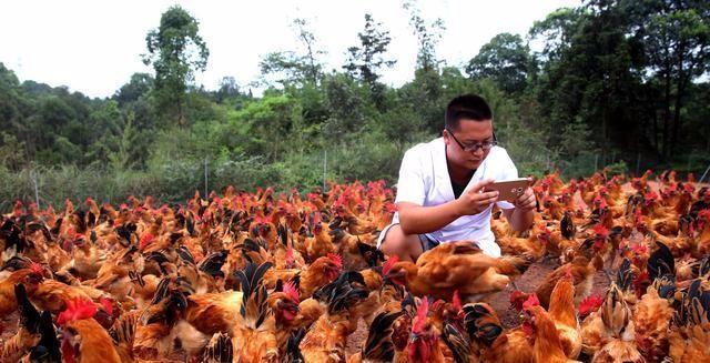 这样养殖土鸡,一年能挣你3年的钱