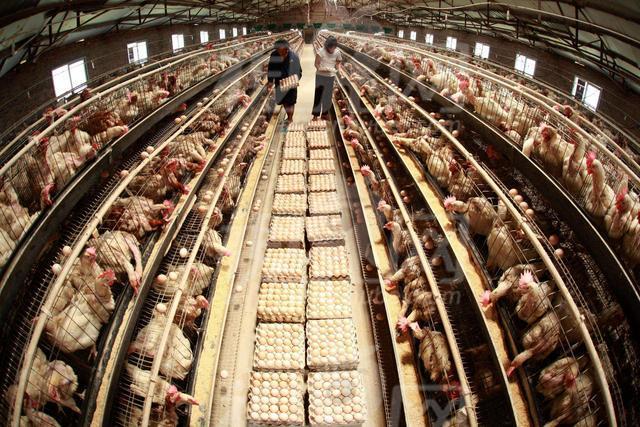 每年40亿吨的禽畜粪污,农村环保只能靠禁养?看看美国是怎么做的
