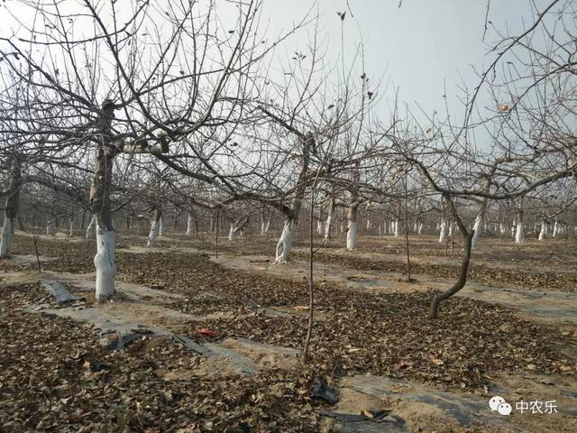 果树越冬前树干涂白好