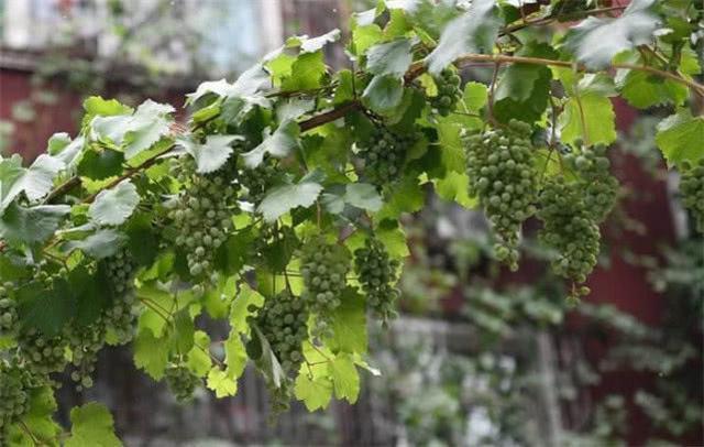 农村种植这5种树,说不定能发家致富