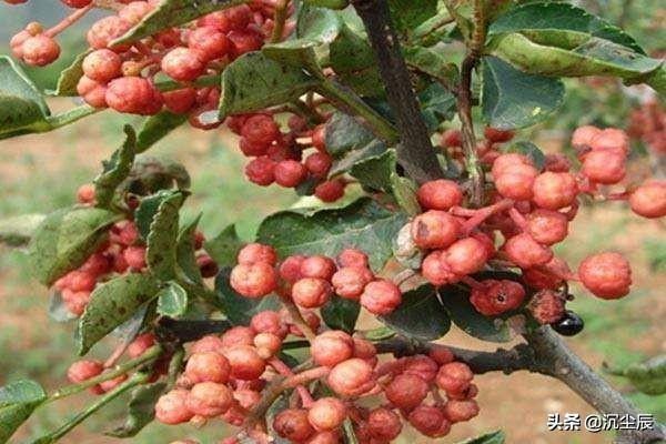 关于在农村种植花椒的题目。