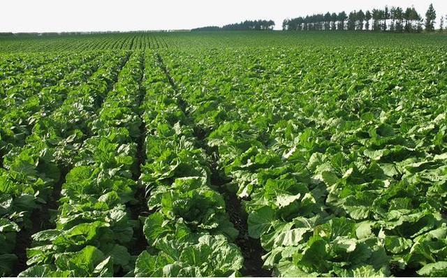 在农村,你会选择种树、种菜还是养殖,哪种致富快?