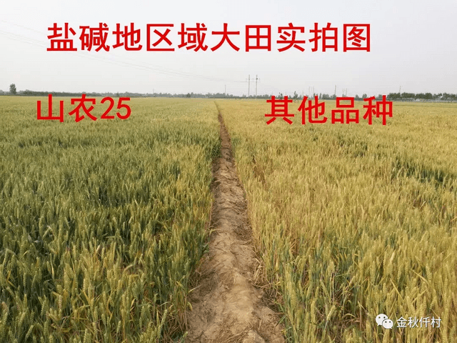 超级小麦新品种:山农25,盐碱地、旱薄地照样高产