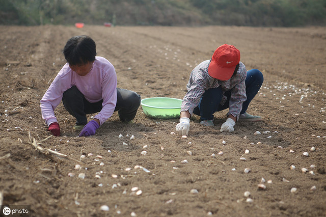 大蒜的种植技术,老农详细分享多年经验