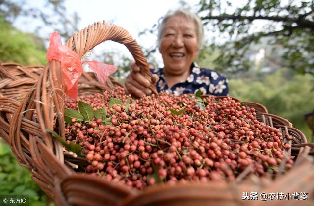 花椒种壳厚播种后难出芽?这样种植出芽率更齐、成活率更高!