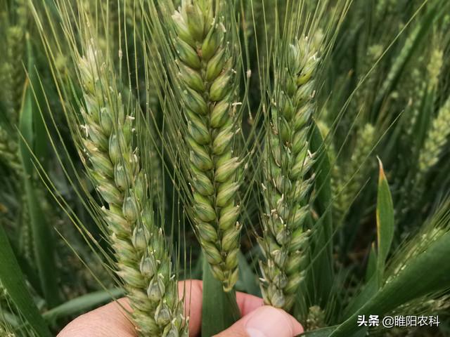 这个超强筋小麦新品种,亩产超766公斤,农民增收首选品种