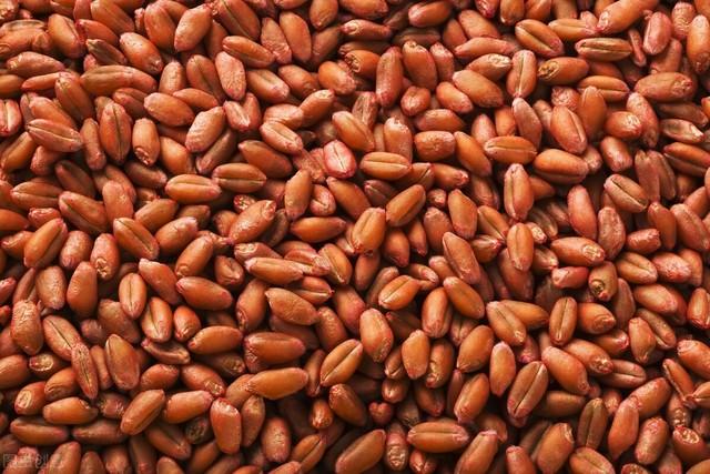 这个小麦新品种,高产又抗倒!亩产600公斤左右!适合哪里种植?