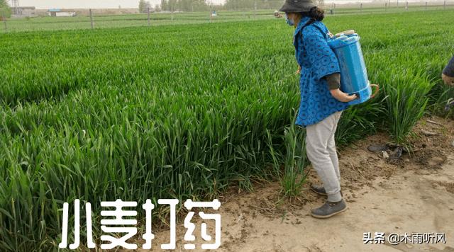 玉米秸秆还田,后茬种植小麦,亩产1500斤,6个措施来帮忙