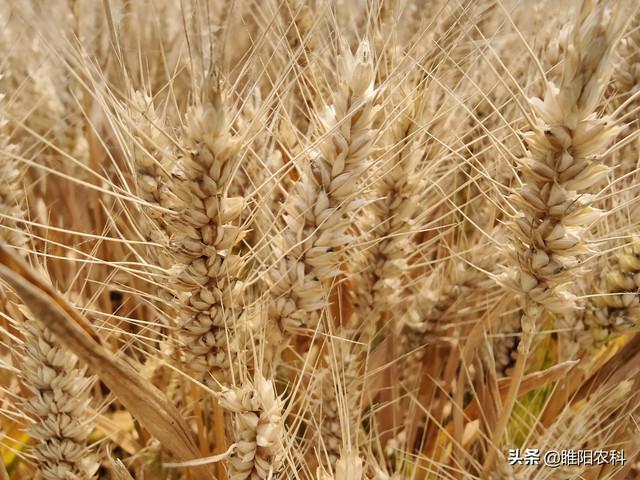 这个强筋小麦品种,最高亩产700公斤,2021年首选种植品种