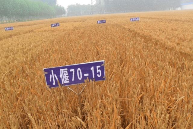 """""""杂交小麦之父""""李振声:扎根西北31年,6年为国家增产1000亿斤"""