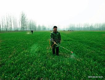 邵胡同村村民在田地里给庄稼打药忙碌的身影摄影实拍!