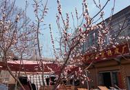 邵胡同村农家小院杏树杏花开了,向人们传达着生机盎然的春天到来