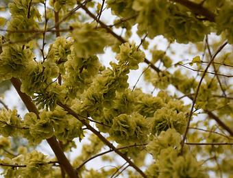春枝芽,绿叶青-----落垡晓哥摄影