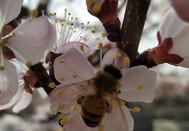 生态环境的改善为今年珍珠油杏的增产奠定了基础