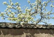 西峪镇梨花