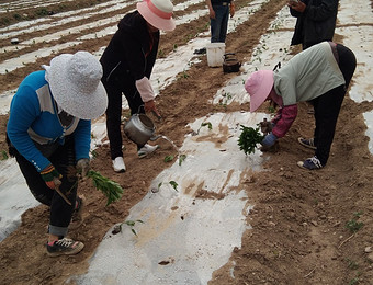 西和县陇福合作社订单辣椒种植基地