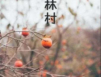 美翻了!这个600年的古村,满山都是红柿子