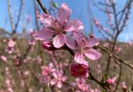 春已至桃花满树开