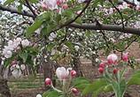 苹果花开了