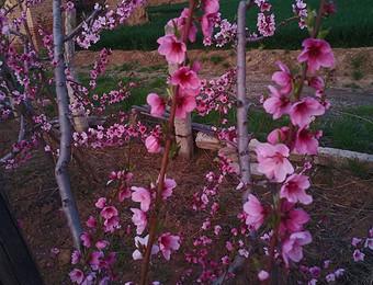 桃 花 盛 开