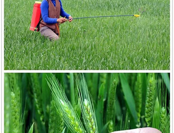 小麦赤霉病真可怕,四个麦穗能烂仨!防治赤霉病,打药时机是关键!