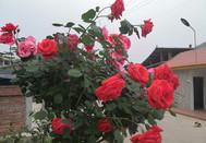 好美——村道花圃的玫瑰花盛开了