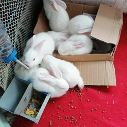 新西兰家兔出售