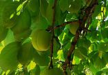 咱家的杏——快熟啦