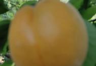 又是一年吃杏的季节